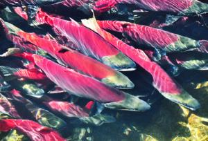 PastedGraphic-1 salmon pic 1